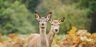 la orina de ciervo de eeuu y canadá está prohibida en Europa