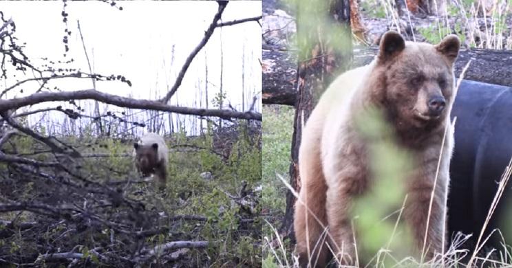 Dos cazadores sufren el ataque de una osa cuando la filmaban junto a sus crías