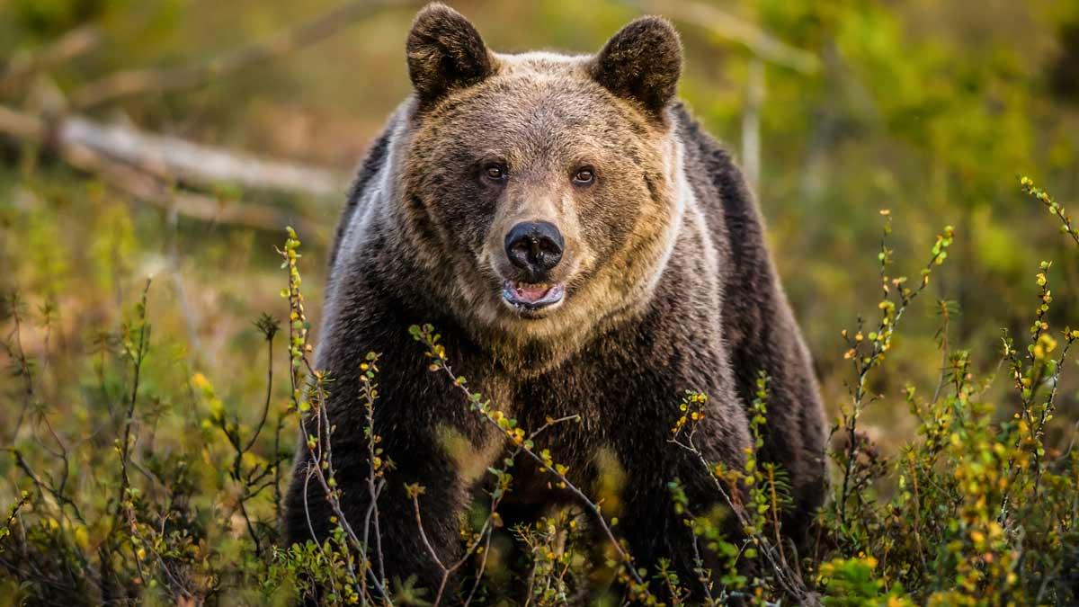 El cazador que abatió a la osa de Pirineos se vio obligado a disparar en defensa propia: «O era ella, o era yo»