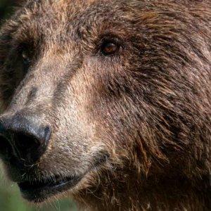 Graban a un oso caminando por un pueblo asturiano en plena cuarentena
