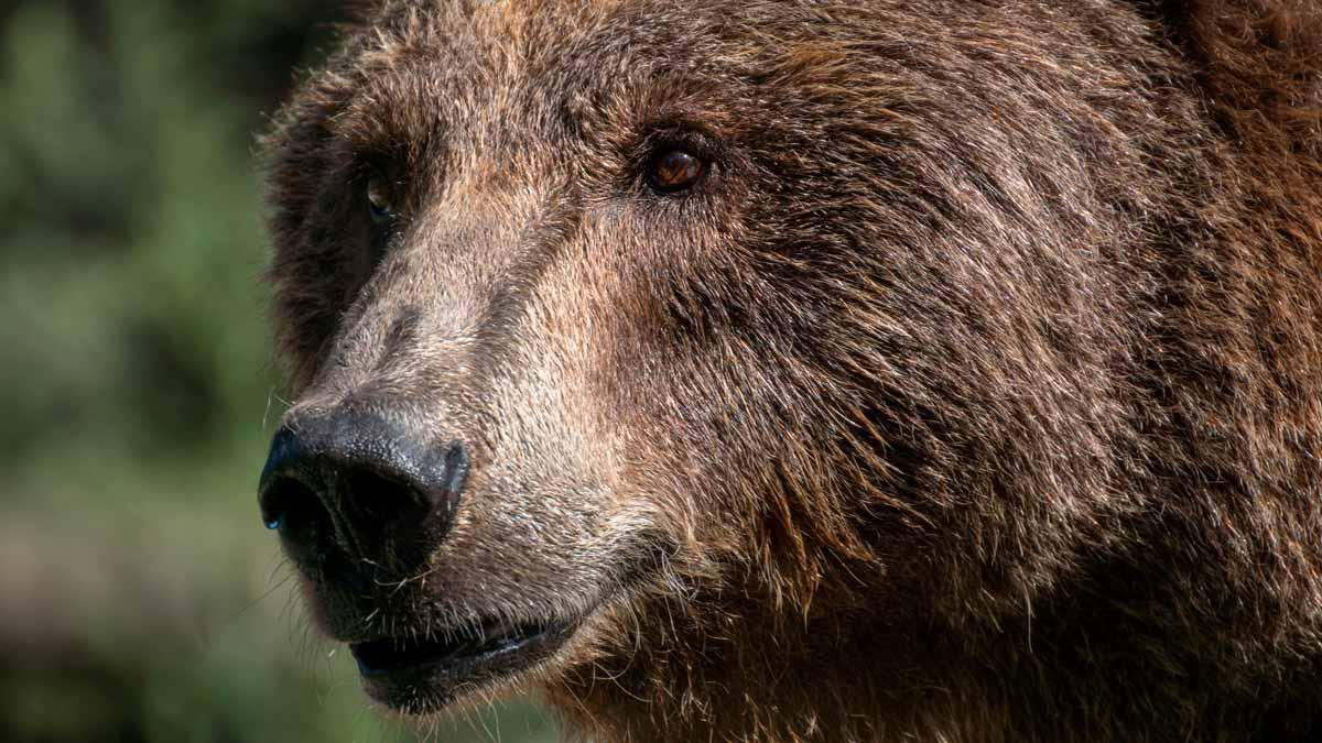 ¿Qué debemos hacer si vemos un oso en la carretera?