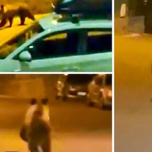 Un oso entra en un pueblo de León y activan un protocolo «antes de que suceda una desgracia»