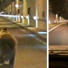 Graban cómo un oso se cuela en un túnel de Asturias