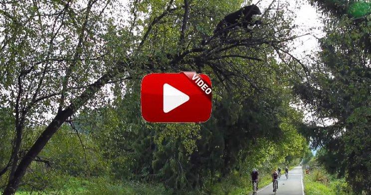 Un oso se sube a un árbol y pasa una carrera ciclista bajo su copa