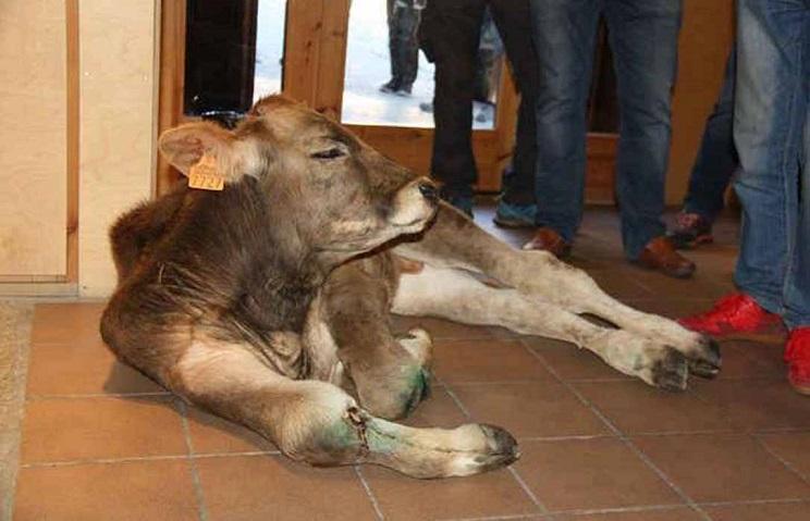 oso ataca ternero acusan maltrato ganaderos