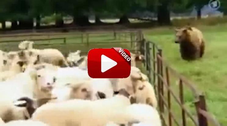 Un oso ataca a un rebaño de ovejas y este perro lo defiende