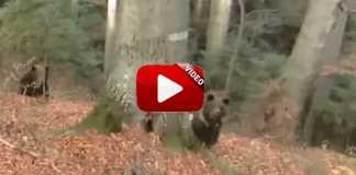 oso-carga-franz