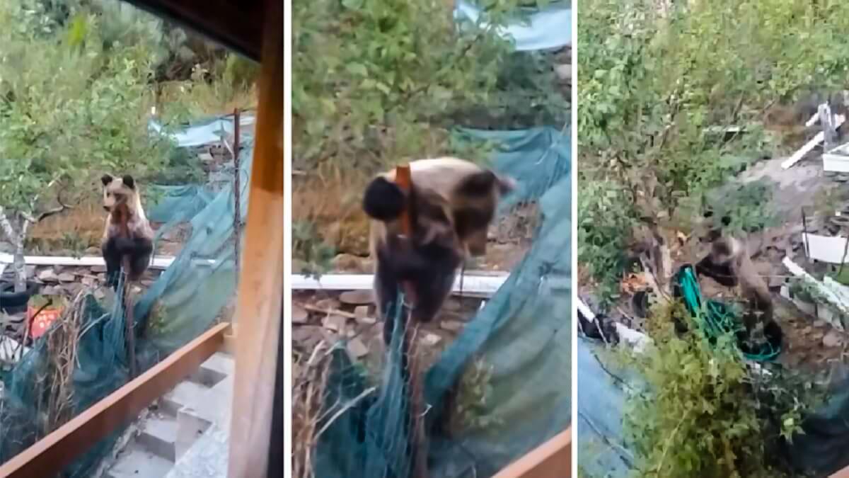 Un vecino de Léon graba a un oso robando las ciruelas de su árbol