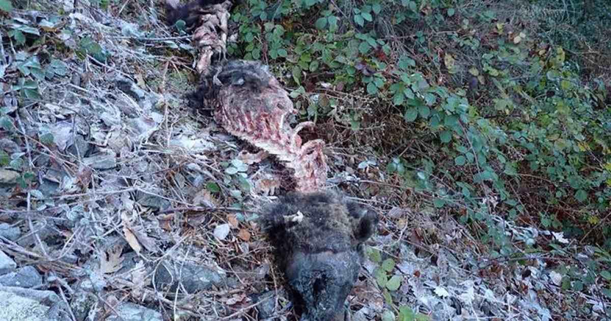 Encuentran un oso pardo muerto en Asturias posiblemente atacado por lobos