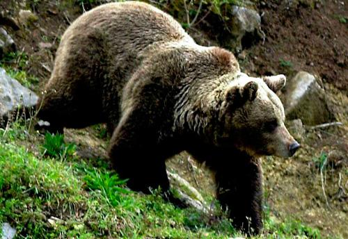 oso esloveno normal 2