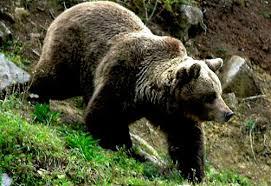 oso esloveno normal