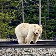 Graban a un inusual ejemplar de oso grizzly blanco en libertad