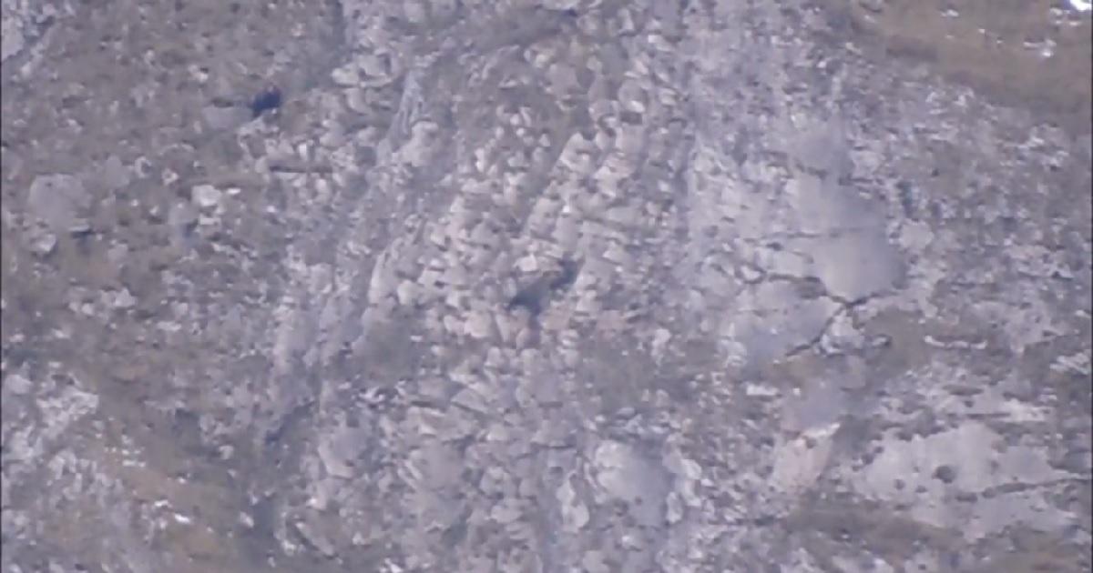 Guardas rurales graban a un oso pardo matando a un osezno en Somiedo