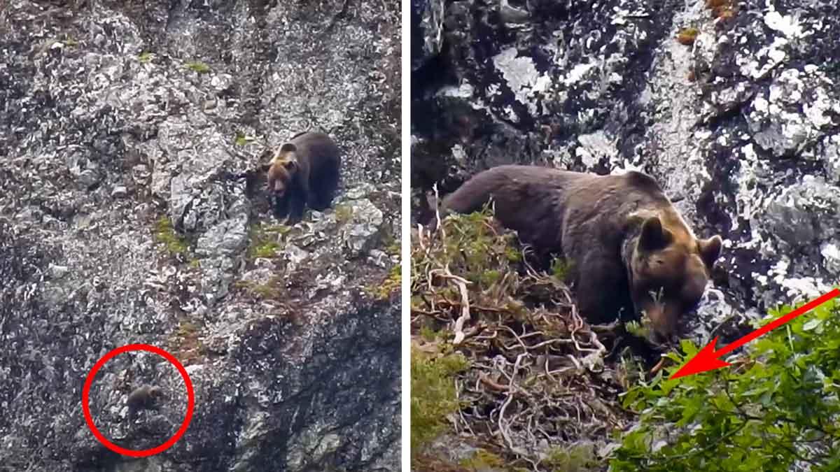 Un oso mata a una osa que protegía a su cría y se la come en Asturias