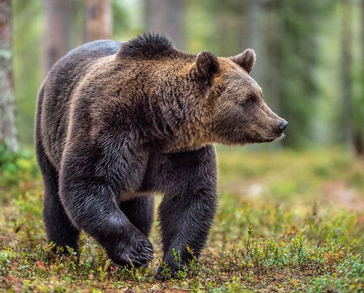 Atribuyen al oso la muerte de 70 ovejas que se despeñaron en Huesca