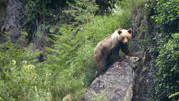Noticia histórica: el oso vuelve a Zamora