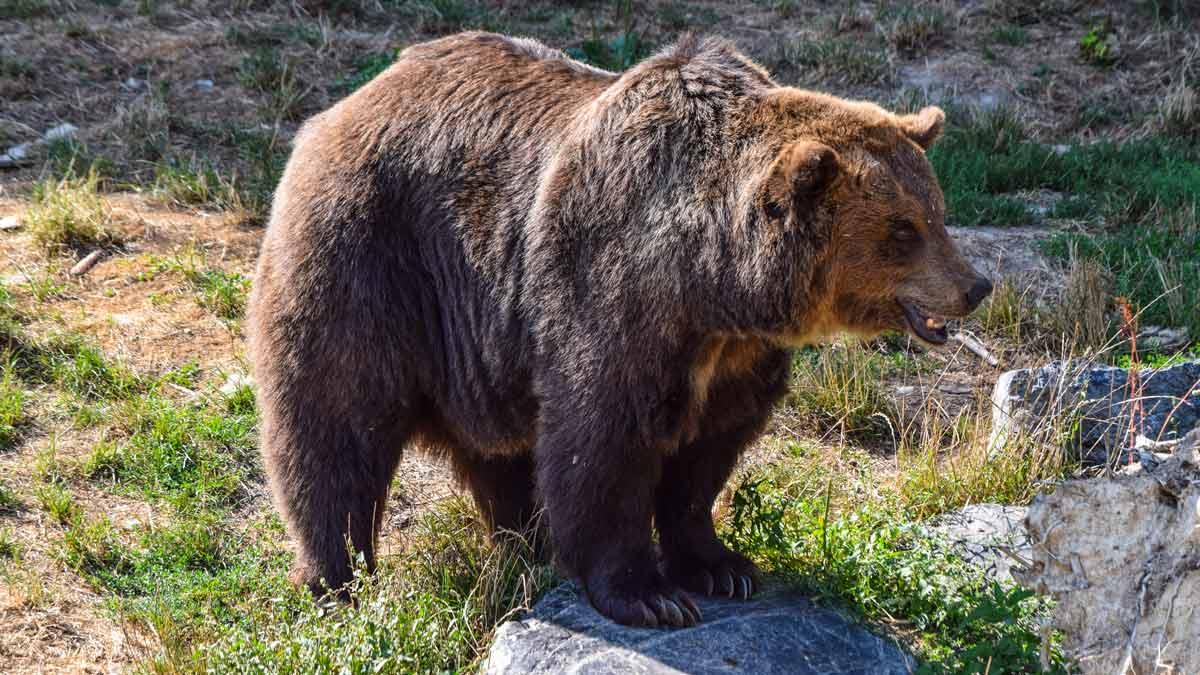 Un leonés denuncia haber sido atacado por un oso en Villablino