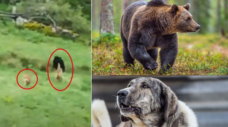 Duelo de titanes: dos mastines se encaran con un oso que ni se inmuta ante su presencia