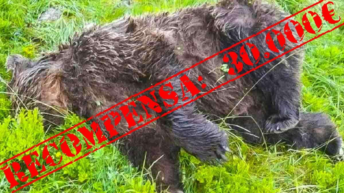 30.000 euros de recompensa para quien ayude a dar con el furtivo que ha matado a este oso