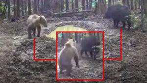 Un jabalí y un oso coinciden en una baña y así reaccionan