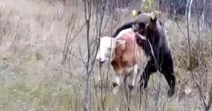 oso ataca vaca delante cazadores