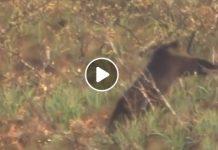 osos contra mastines