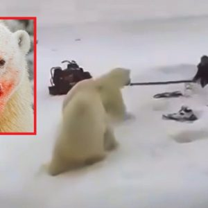 Dos osos polares atacan a un hombre y así se defiende a la desesperada