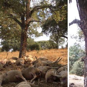 Un cazador se encuentra 22 ovejas muertas mientras recechaba un ciervo en Cáceres