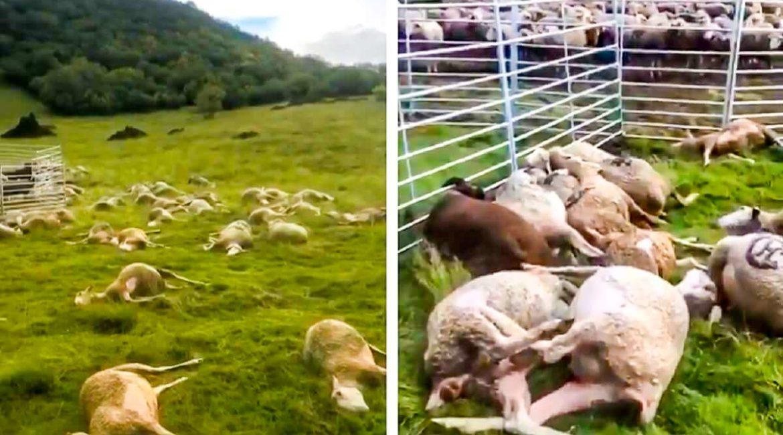 Esto es lo que pasa cuando un rayo cae en medio de un rebaño de ovejas