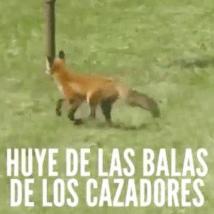 PACMA usa un vídeo de un zorro que come peras para decir que escapa de las balas