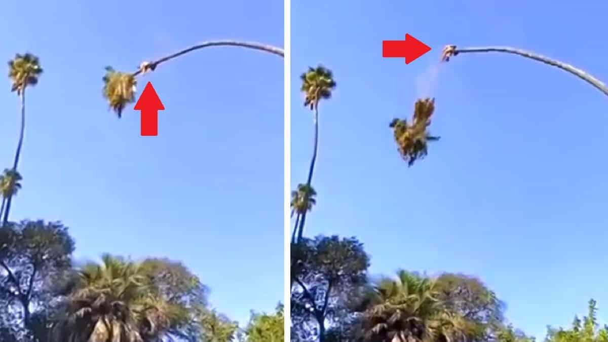 Una palmera catapulta a un hombre que cortó su copa