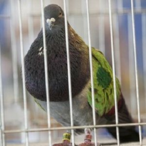 4 años de cárcel por robar 20 palomas