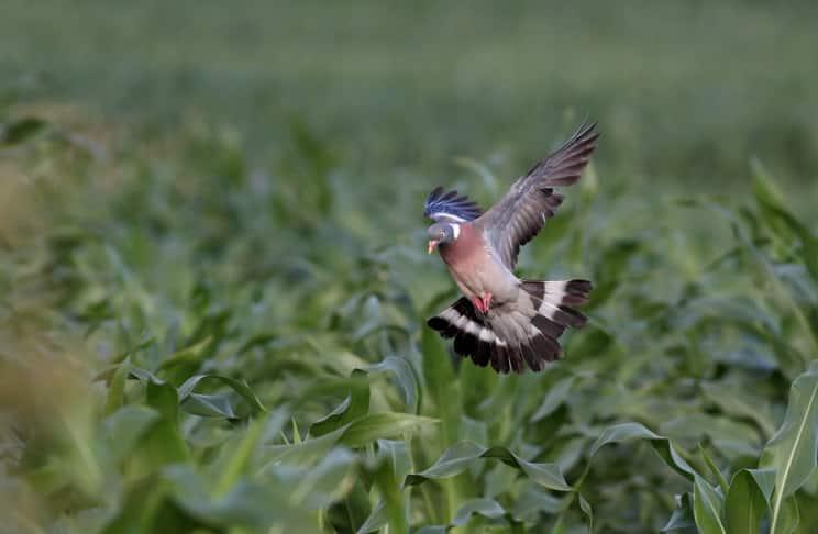 Localiza los mejores pasos de palomas y tórtolas
