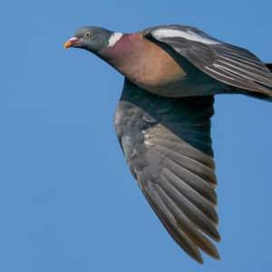 Más de 2,5 millones de palomas torcaces han entrado en España a través de los Pirineos durante este otoño