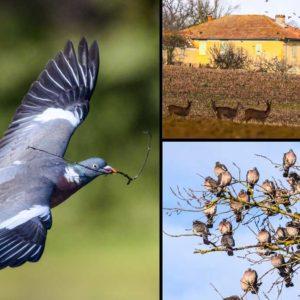 Este mágico vídeo de millones de palomas torcaces en migración es el sueño de cualquier cazador