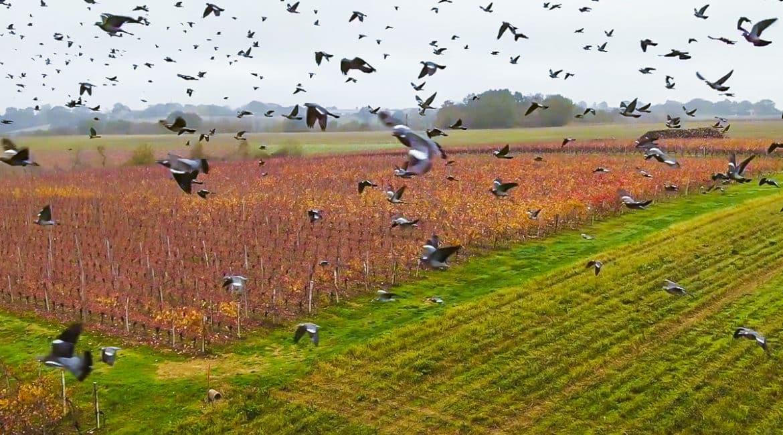 Esto es lo que pasa cuando un dron vuela entre cientos de palomas torcaces