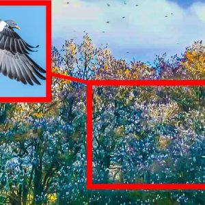 Un descomunal bando de palomas torcaces tiñe una arboleda al posarse