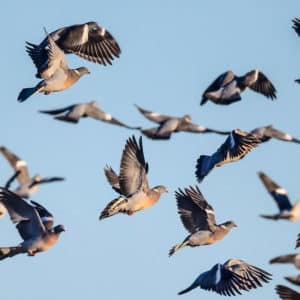 Arranca la contrapasa: miles de palomas torcaces emprenden un largo camino