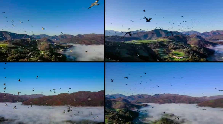 Un dron se cuela en un bando de palomas torcaces y graba este espectáculo