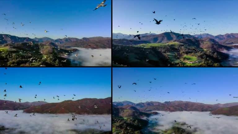 Varias imágenes del bando de torcaces a vista de dron. ©YouTube