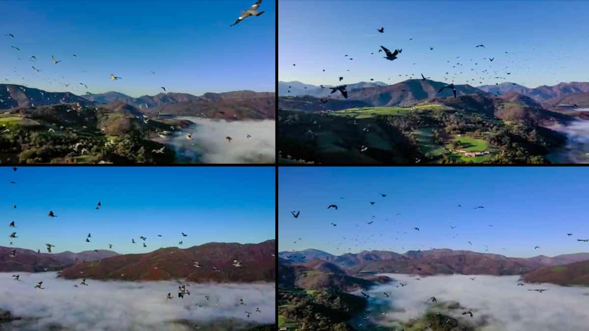 Un dron se cuela en un bando de palomas torcaces y graba estas bellísimas imágenes