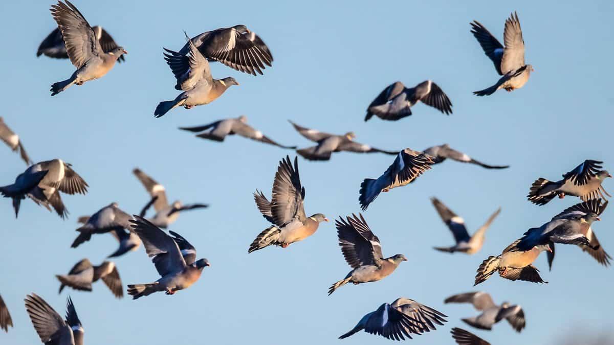 ¿Por qué cada temporada hay más palomas torcaces y se ven todo el año?