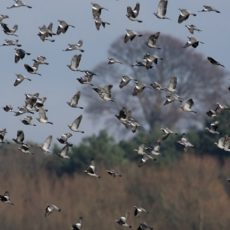 Más de medio millón de palomas entraron ayer a España cruzando los Pirineos