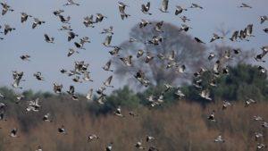 Cómo localizar los mejores pasos de palomas y tórtolas