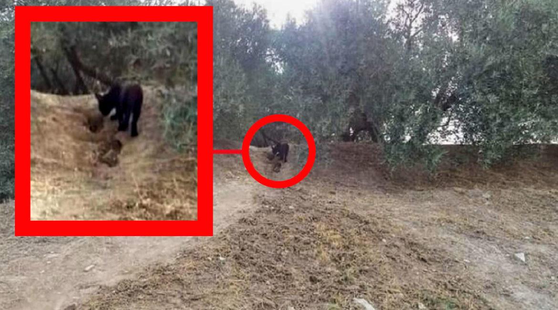 Un vecino fotografía a la supuesta pantera negra y el Ayuntamiento advierte: «¡Este animal puede matar!»