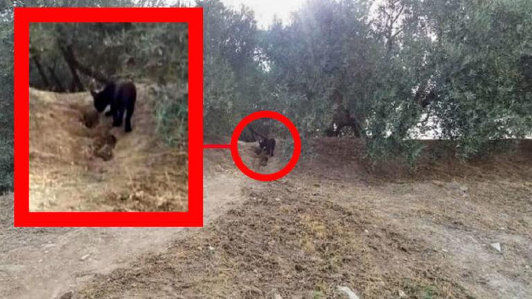 Fotografía de la supuesta pantera en los alrededores del municipio granadino. / Facebook