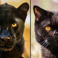 «La pantera puede existir, el gato fotografiado es conocido en el pueblo», denuncia el alcalde de Ventas