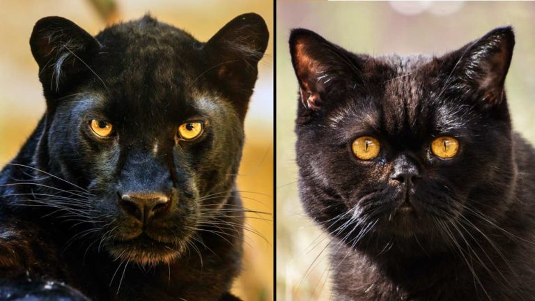 Pantera y gato. ©Shutterstock