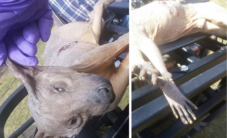 Capturan un extraño animal y los internautas dicen que es el «chupacabras»