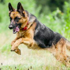Muere el primer perro por coronavirus, un pastor alemán